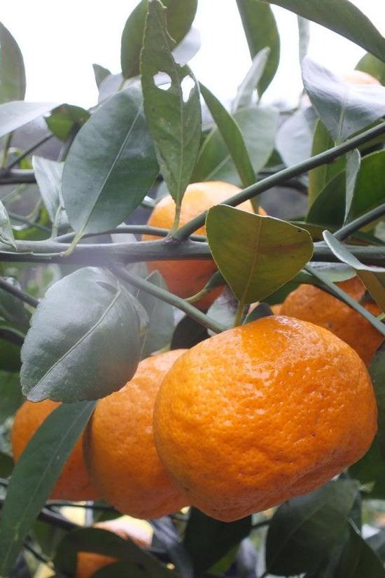 摘橘子啦—-周日集合出发