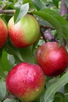 桃子李子熟了到果园吃个够可好?随州美食分享活动