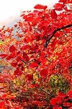 10月25日金秋红叶第三期,大鸿寨红叶节