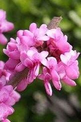 4月18日(周六)太平国家森林公园赏紫荆花