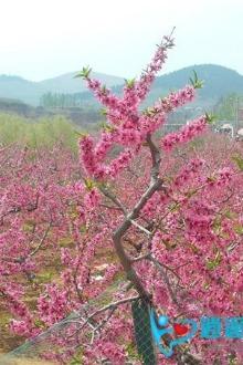 逍遥游4月18肥城万亩桃园赏花、摄影亲子一日游