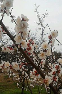【猴年第一爬】2.12苏驴光福香雪海赏花活动召集