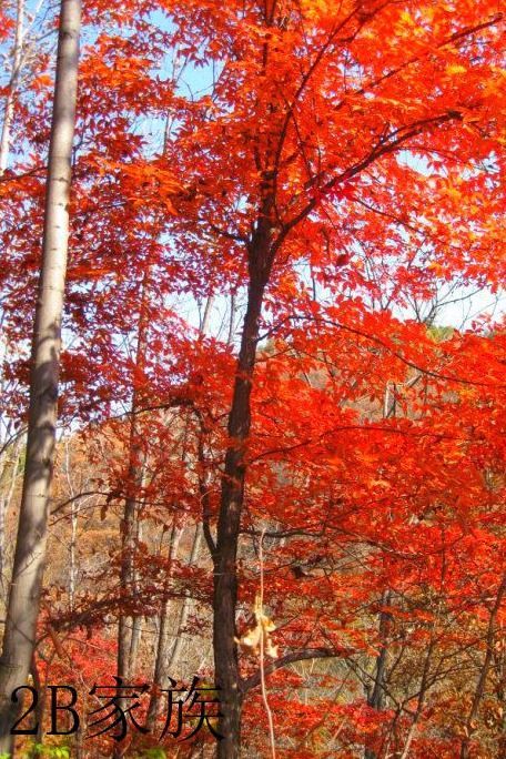 12.11泡纯天然流动温泉 拍枫叶