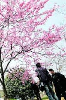 3月22号武汉大学樱花一日游