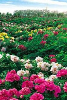 菏泽牡丹园