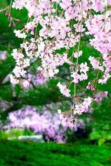 2.1新丰樱花峪赏樱花