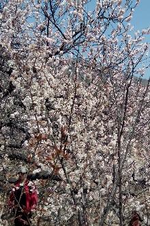 3月22周日新华穿越唐庄踏青老虎洞赏樱桃谷樱桃花休闲游