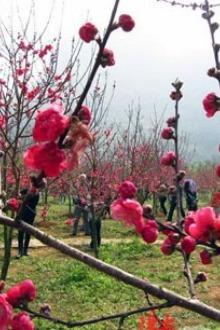 年初三初四阳春桃花节、薫衣草、龙宫岩一天驴友活动