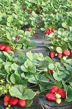 琉璃河草莓采摘