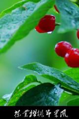 茶业卧铺红樱桃  潘家崖挂半山腰