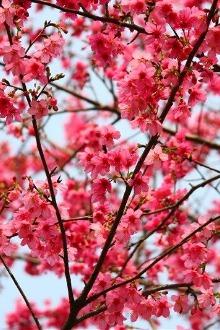 每周六、日,韶关樱花峪赏樱花