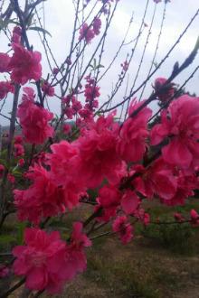 桃花园游玩