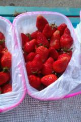 周末草莓鲜摘活动