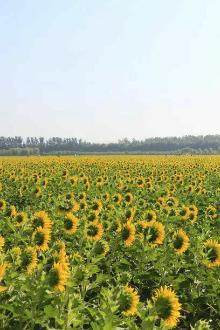 固安林城葵花观光游