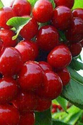 泡古尔沟温泉吃汶川甜樱桃