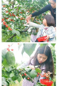 周末仙居摘樱桃