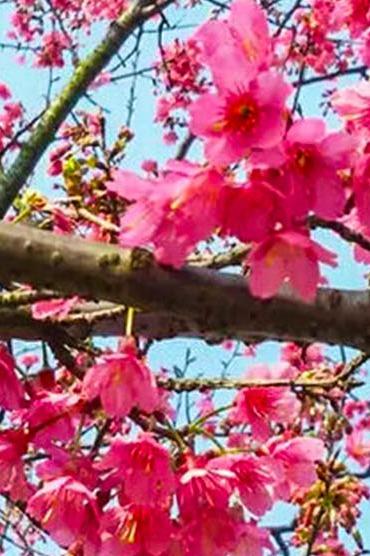 2月29日周一 坐公交游新会,圭峰山看樱花和山茶花