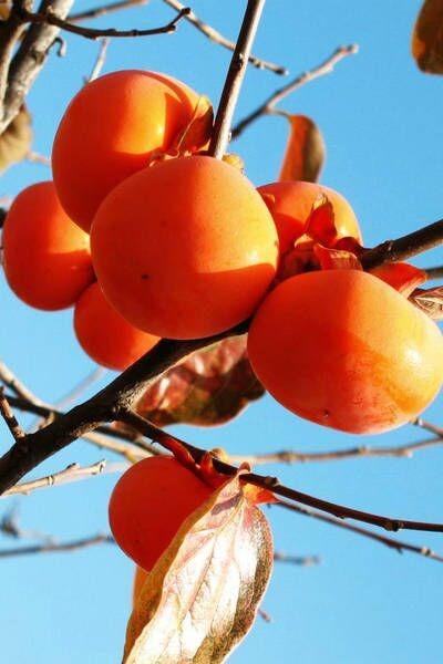 野蘑菇11月20日 周日 三皇山 赏秋色  摘柿子