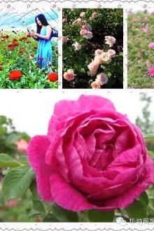 平阴浪漫玫瑰园、云翠山、洪范池一日游