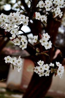 世界第一古梨园赏梨花