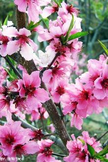 恭城桃花节