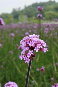 5月16日苍南马鞭草赏花活动