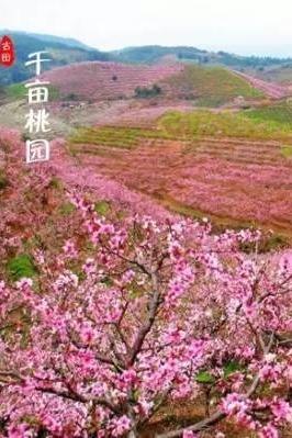3月20日(周日)自驾古田桃花朵朵开