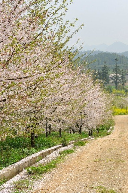 踏春3月26号平坝农场赏樱花品酸汤鱼郊游活动邀请