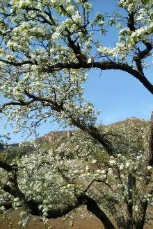 4.21日(周四)北镇爬山,赏梨花。休闲一日游活动
