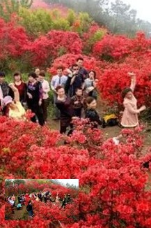 将乐县宝台山看映山红