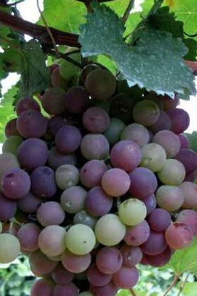 8.23周日户外大本营带你相约葡萄之乡爬山品葡萄