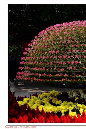 25号一起去看小榄菊花展