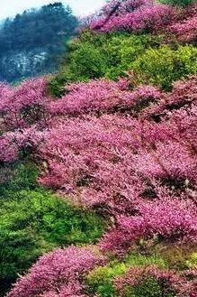 4月19日户县太平森林公园赏万亩紫荆花+周至水街一日游