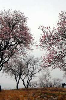 3月22日周日青州杏花岭赏花探洞挖荠菜