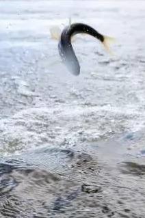 青海裸鲤跃龙门——杰途户外邀你观看湟鱼洄游