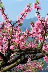 [AA约伴]3月21日邀您和家人辉县秋沟桃花节踏春赏花