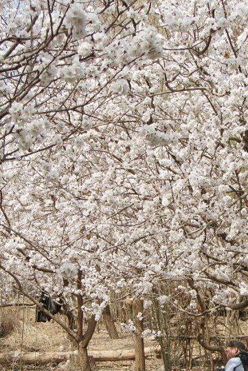 3月28日周六暴队带您吐鲁番交河故城踏青赏杏花!