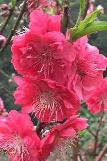 2月28号白云山赏桃花、春暖花開走走桃花运