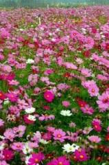 3月15隆安格桑花赏花、草莓采摘一日29