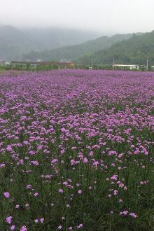 5月17日周日苍南月亮湾沙滩+紫色花海马鞭草休闲一日游