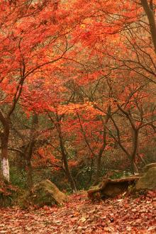 南京栖霞山赏红枫银杏