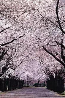 4月17号赏杜鹃花海+青岛樱花+海边风光1天