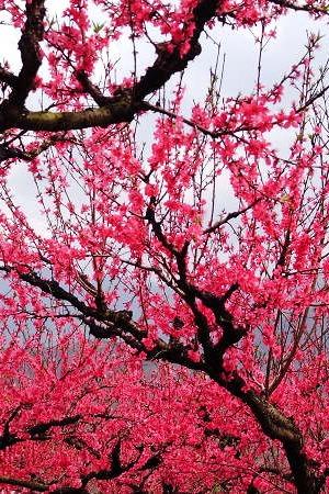 3月13日广东连平万亩桃花朵朵开、赏桃花转桃花运