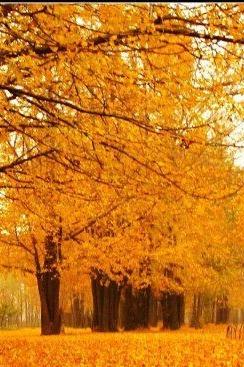 丝露花语11月15日临沂百年银杏林和郯城万亩银杏园