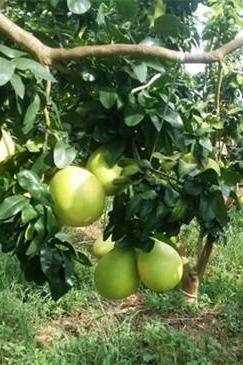 儋州南丰摘柚子品全鱼宴半日游活动
