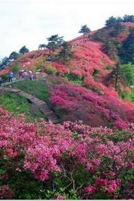4月25-26日人间四月天,麻城看杜鹃,赏满山映山红!