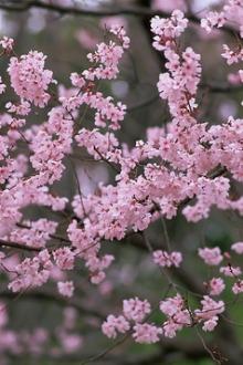 """一起相约自驾游玩仙游菜溪和来洋赏樱花拿""""红包"""""""