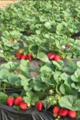 快来摘草莓啦!咿呀咿呀哟