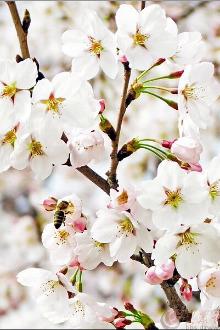 【天下任我行】4.3 徒步鹤伴山/赏浪漫樱花