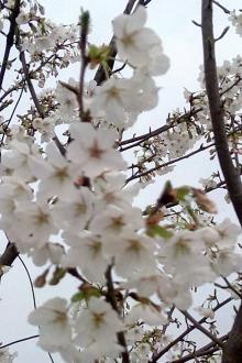 武汉大学赏樱花周末休闲两日游